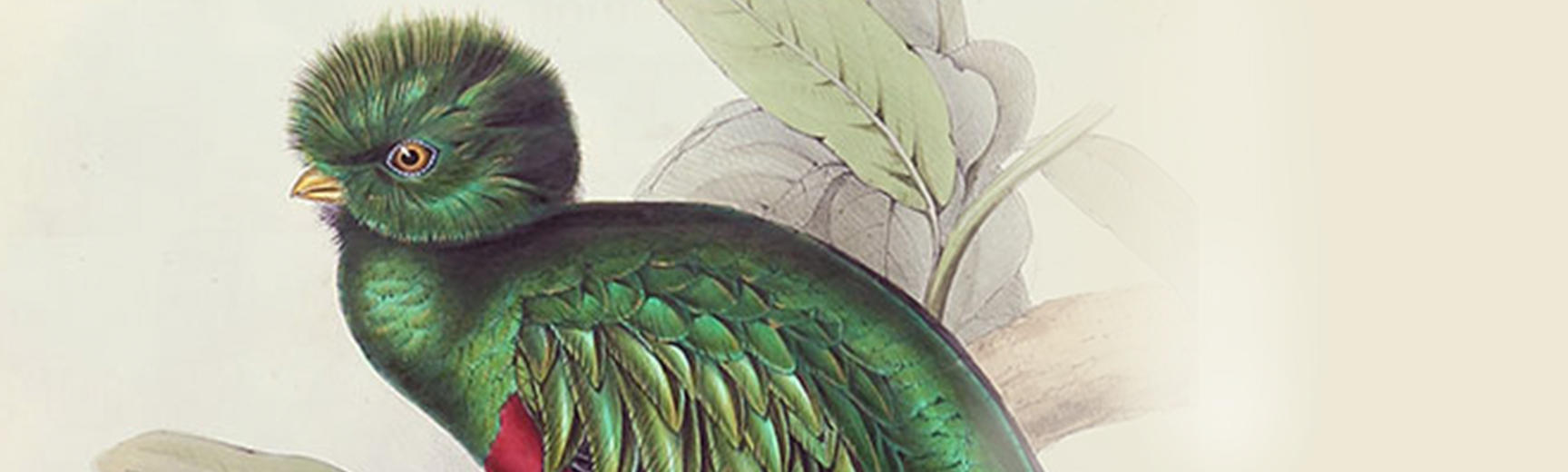 Detail of an exotic green bird from a lavishly illustrated natural history book