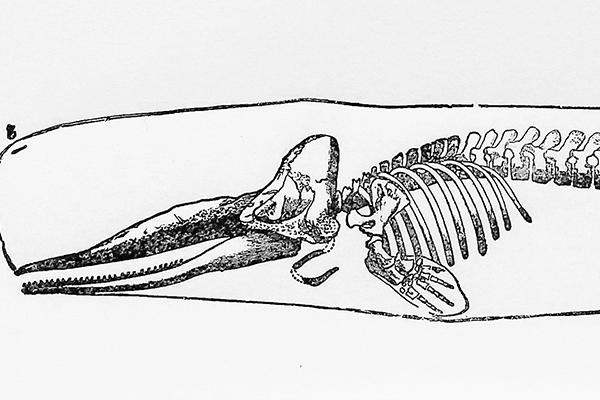 Black-and-white print of a whale skeleton