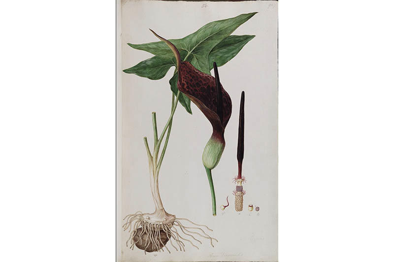 A detailed watercolour of a plant depicting its leaves, stem and root system