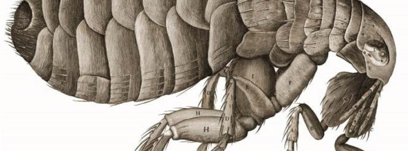 A drawing of a bug in microscopic detail by Robert Hooke