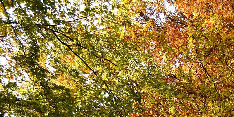 A view up into the trees with autumnal leaves